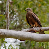Black Kite with Prey