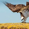 Osprey Calisthenics