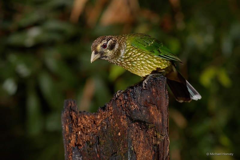 Spotted Catbird (Ailuroedus melanotis)