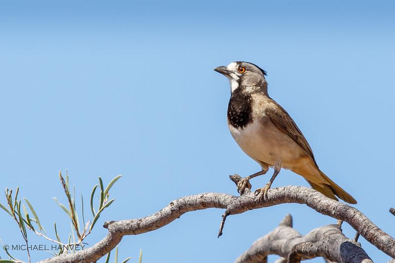 Crested Bellbird (Oreoica gutteralis)