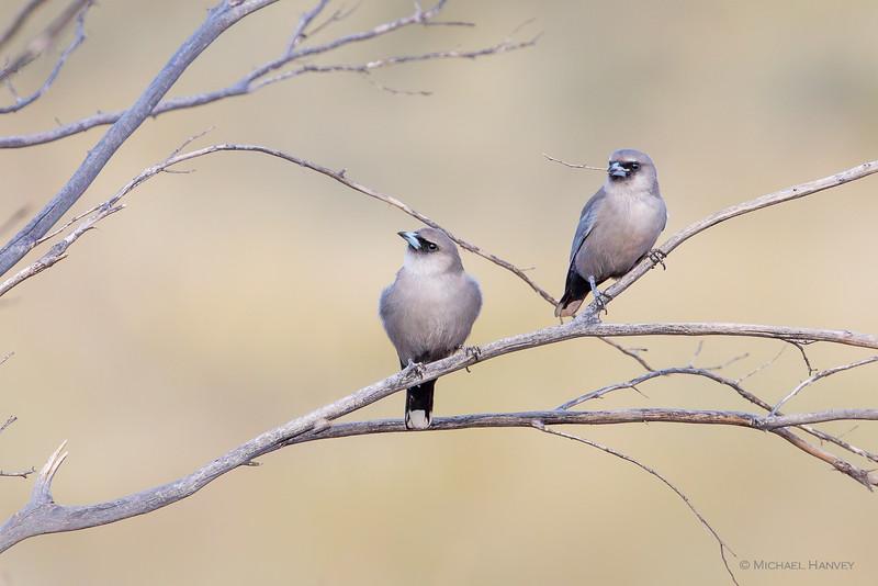 Black-faced Woodswallows (Artamus cinereus)