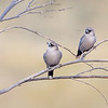 Black-faced Woodswallows (Artamus cinereus)