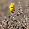 Yellow Chat (Epithianura crocea)