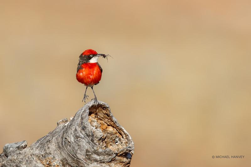 Crimson Chat (Epithianura tricolor)