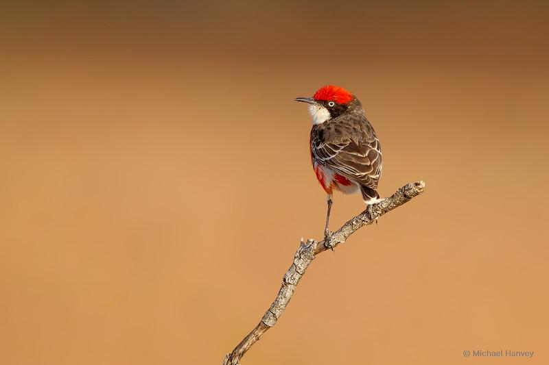 Crimson Chat (Epthianura tricolor)
