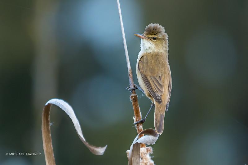 Australian Reed-Warbler (Acrocephalus australis)