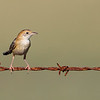 Golden-headed Cisticola (Cistircola exilis)