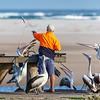 Australian Pelicans (Pelicanus conspicillatus)