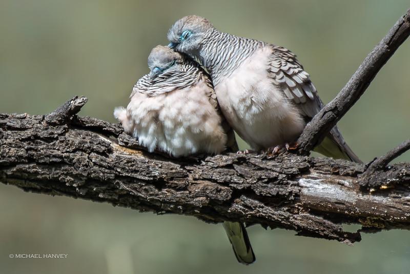 Peaceful Doves (Geopelia striata)