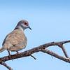 Diamond Dove (Geopelia cuneata)