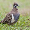 Squatter Pigeon (Geohaps scripta)