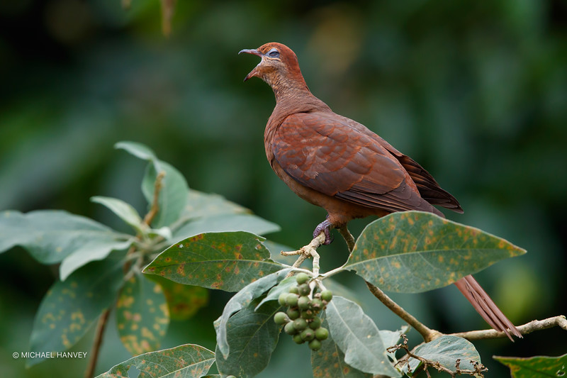 Brown Cuckoo-Dove (Macrophygia amboinensis)