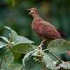 Brown Cuckoo-Dove (Macrophygia amboinensis)