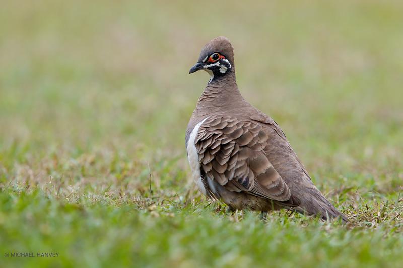 Squatter Pigeon (Geophaps scripta)