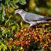 Topknot Pigeon (Lopholaimus antarcticus)