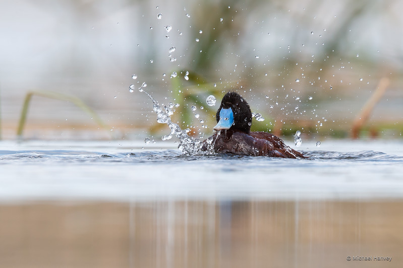 Male Blue-billed Duck (Oxyura australis)