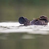 Musk Duck Display