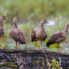 Plumed Whistling Ducks (Dendrocygna eytoni)