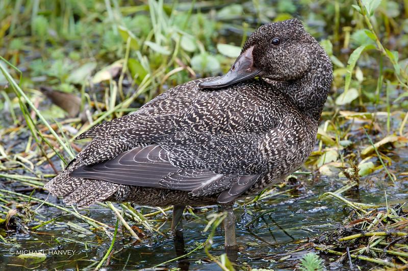 Freckled Duck (Stictonetta naevosa)