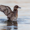 Female Blue-billed Duck (Oxyura australis)