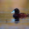Male Blue-billed Duck (Oxyura australis)