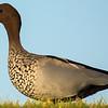 Australian Wood Duck (Chenonetta jubatta)