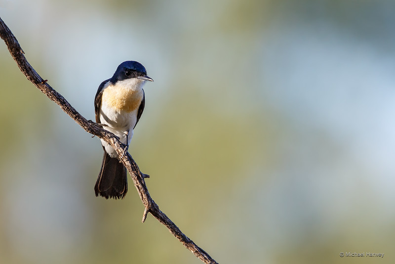 Restless Flycatcher (Myiagra inquieta)