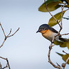 Broad-billed Flycatcher (Myiagra ruficollis)