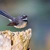 Grey Fantail (Rhipidura albiscalpa)
