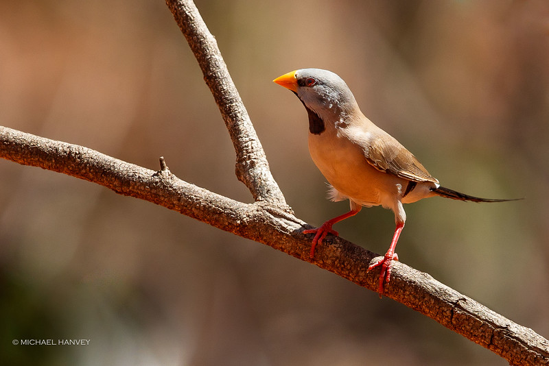 Long-tailed Finch (Poephilia acuticauda)
