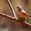 Long-tailed Finch (Poephilia acuticauda)