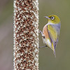 Silvereye on Flowering Grass Tree