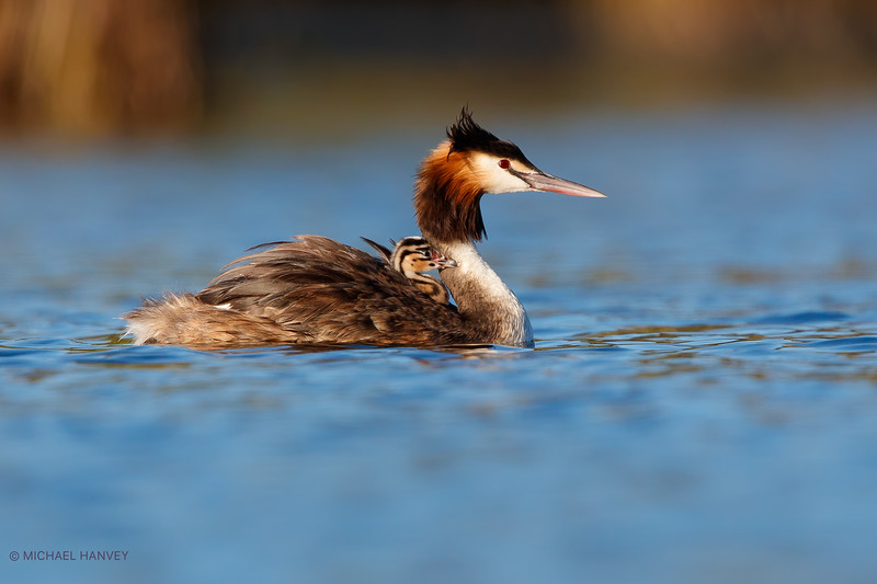 Great Crested Grebe with Chick