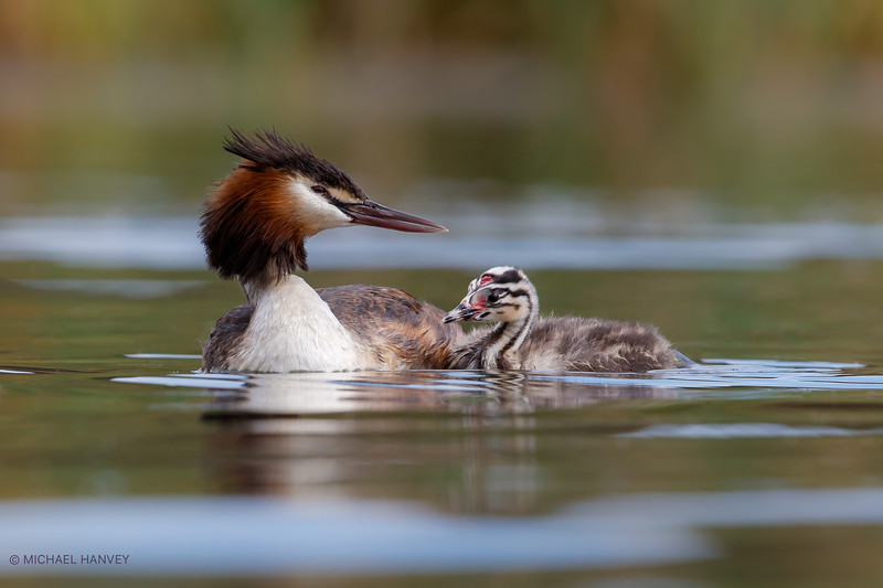 Great Crested Grebe with Chick (Podiceps cristatus)