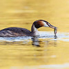 Great Crested Grebe with a Redfin