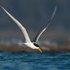 Crested Tern (Thalasseus bergii)