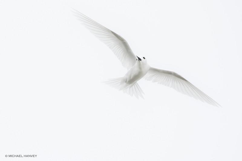 White Tern (Gygis alba)