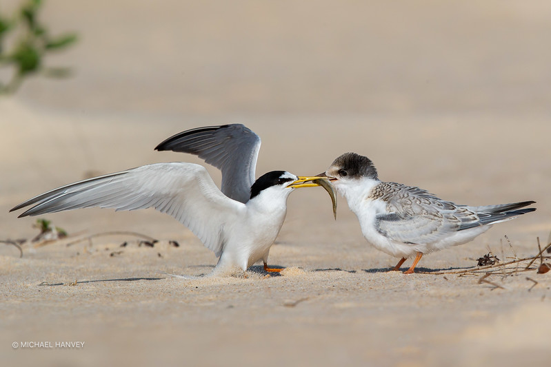 Little Tern adult with Chick