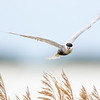 Whiskered Tern (Childonias hybridus)