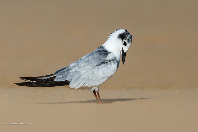 White-winged Black Tern (Childonias leucopterus)