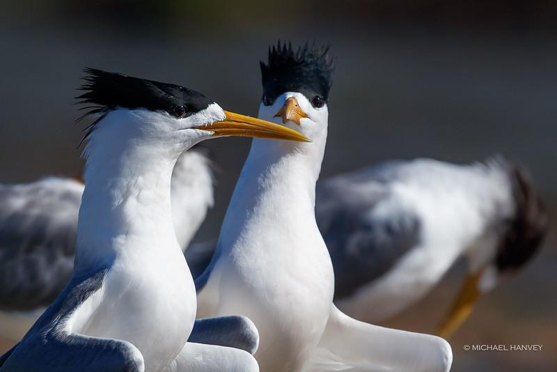 Crested Terns (Thalasseus bergii)