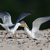 Little Terns (Sternula albifrons)