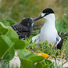 Sooty Tern with Chick (Onychoprion fuscata)