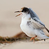 Little Tern  Chick (Sternula albifrons)