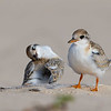 Little Tern Chicks