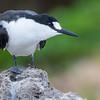 Sooty Tern (Onychoprion fuscata)