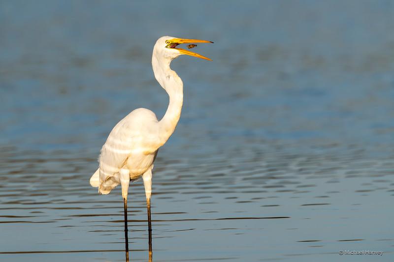 Great Egret (Ardea modesta)