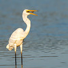 Great Egret (Ardea modesta)