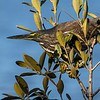 A Perch in the Mangroves
