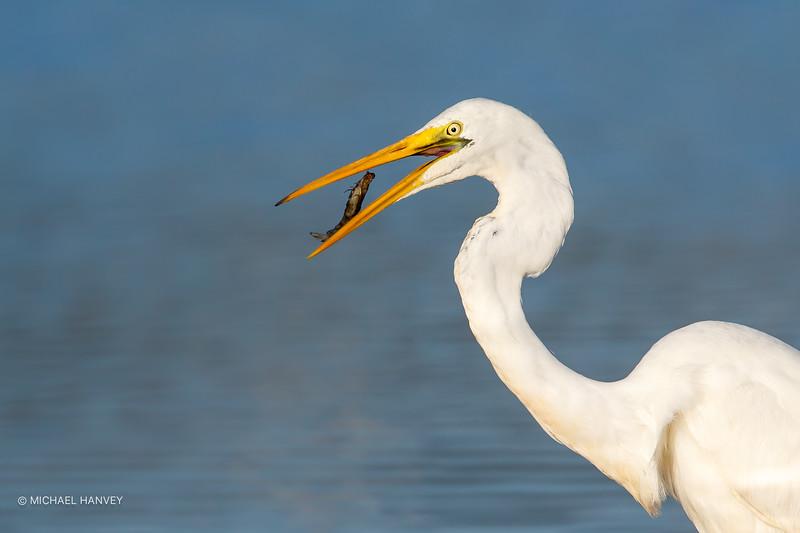 Great Egret with Prawn